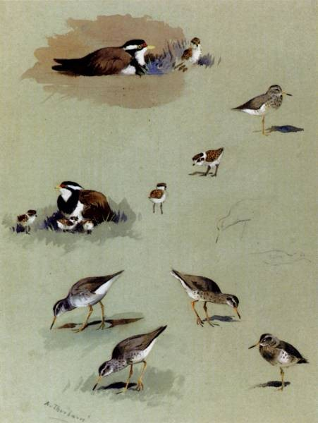 Study Of Sandpipers Cream Coloured Coursers And Other Birds